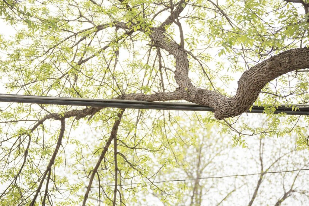 Tree-Bracing-Cabling-Little Rock Tree Trimming and Stump Grinding Services-We Offer Tree Trimming Services, Tree Removal, Tree Pruning, Tree Cutting, Residential and Commercial Tree Trimming Services, Storm Damage, Emergency Tree Removal, Land Clearing, Tree Companies, Tree Care Service, Stump Grinding, and we're the Best Tree Trimming Company Near You Guaranteed!