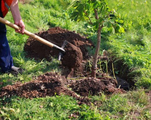 Tree Planting-Little Rock Tree Trimming and Stump Grinding Services-We Offer Tree Trimming Services, Tree Removal, Tree Pruning, Tree Cutting, Residential and Commercial Tree Trimming Services, Storm Damage, Emergency Tree Removal, Land Clearing, Tree Companies, Tree Care Service, Stump Grinding, and we're the Best Tree Trimming Company Near You Guaranteed!
